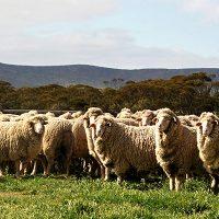 Queenslanders leading world and national Merino bodies