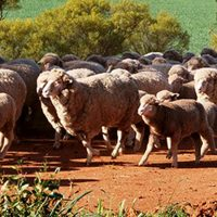 Australian Merino Sale – Postponed to Friday 30th July